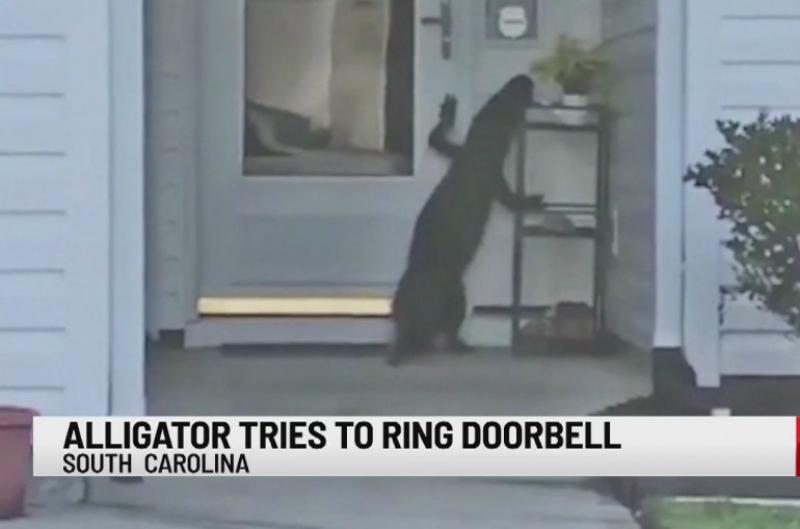 Ամերիկուհին տեսագրել է, թե ինչպես է ալիգատորը փորձում իր դռան զանգը տալ (տեսանյութ)