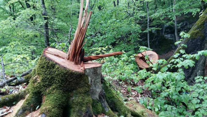 Անտառապահի գիտությամբ Նոյեմբերյանում ծառեր են հատվել (տեսանյութ)