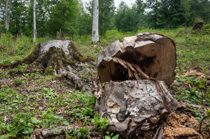 Գեղարքունիքի մարզի Կուտական գյուղի անտառում սոճենիների սպանդ իրականացրած երիտասարդը բերման է ենթարկվել. Shamshyan.com