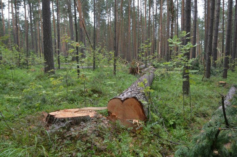 Եղեգնուտի անտառապահը 75 ծառ է ապօրինի հատել. քրգործ է հարուցվել. ՔԿ