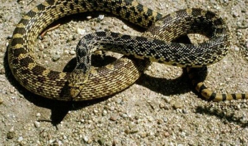 Փրկարարները Երևանում և Արագածոտնում 3 տեսակի օձ են բռնել
