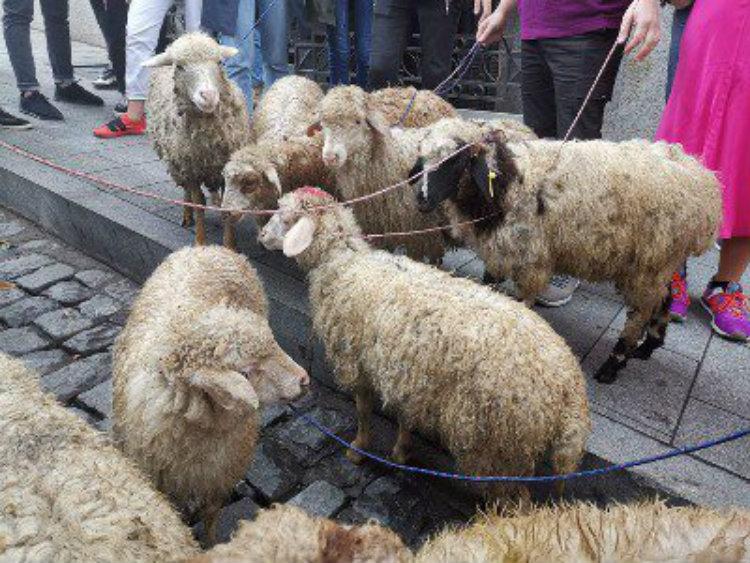 Գախարիայի նշանակման դեմ բողոքողները ՎՀ խորհրդարանի մոտ ոչխարներ են տարել