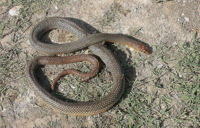 Փրկարարներն անվտանգ տարածք են տեղափոխել երեք բնակավայրերում նկատված օձերին