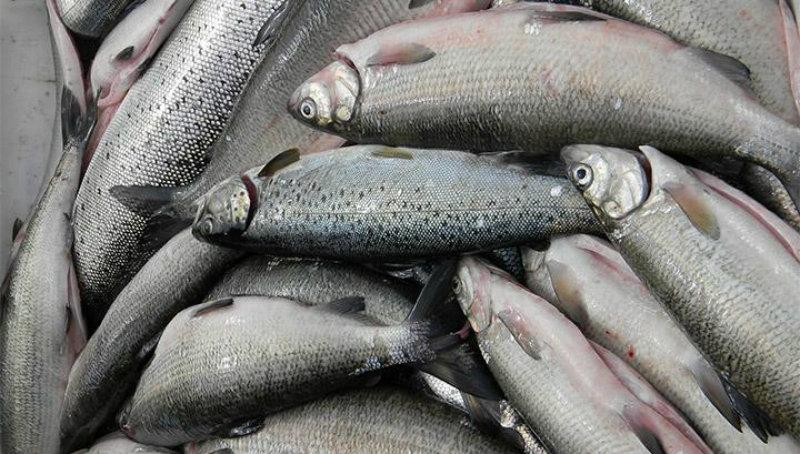 Բերման են ենթարկվել հոսանքով ձուկ բռնողները