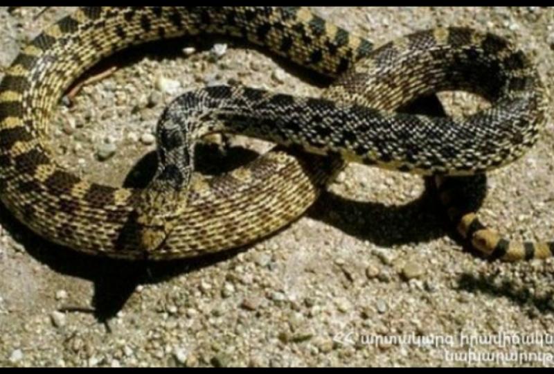 2 օրում փրկարարներն անվտանգ տարածք 5 օձ են տեղափոխել