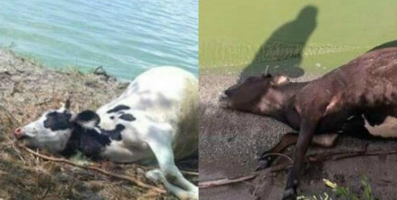 Սևանա լճից ջուր խմելուց հետո տասնյակ կովեր են սատկել (լուսանկարներ)