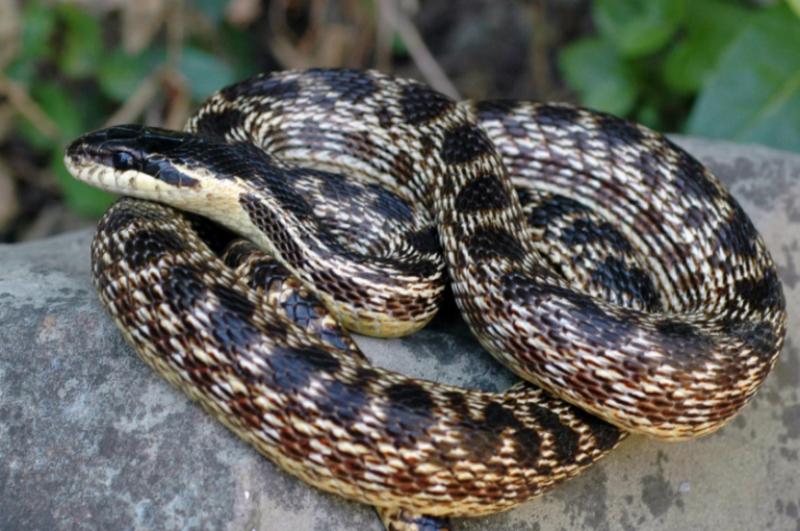 Եվրոպացի գիտնականներն օձի նոր տեսակն անվանել են հայկական Ուրարտու թագավորության պատվին