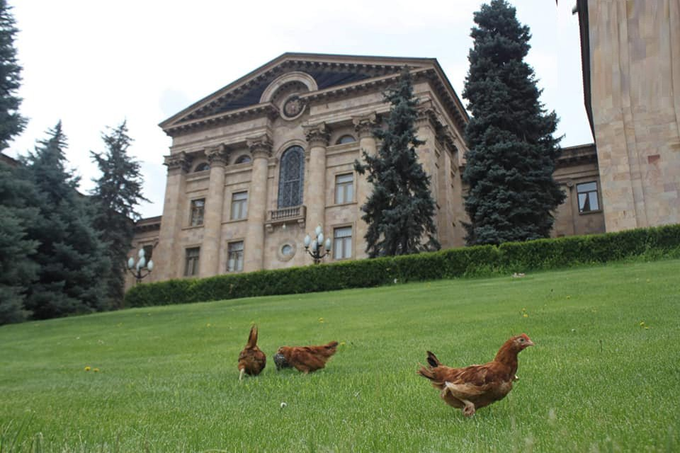 Ինչ եղան ԱԺ բակում հայտնված հավերը. «Հրապարակ»