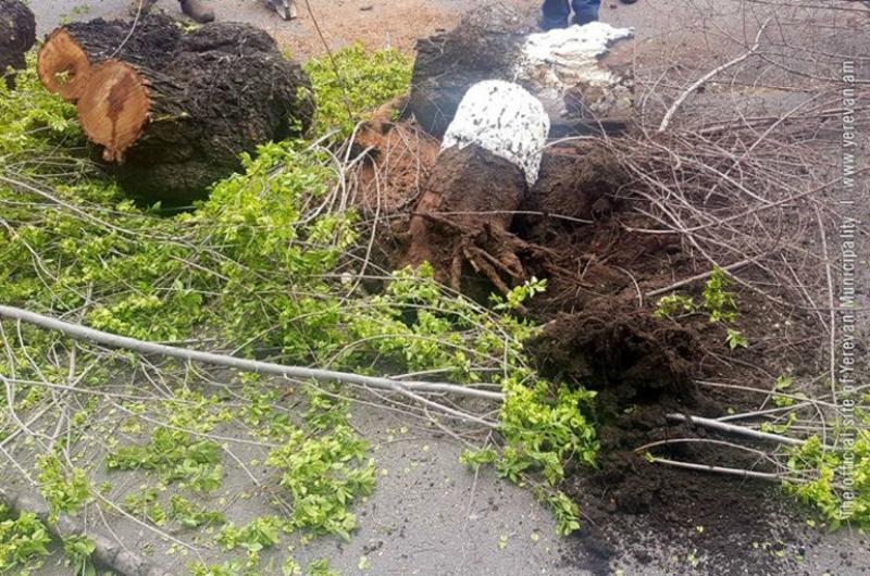 Երևանում էտվել է ավելի քան 8000 ծառ. քաղաքապետարան