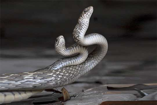 Համացանցում է հայտնվել երկու կատաղի օձերի հիպնոսային պարի տեսանյութը