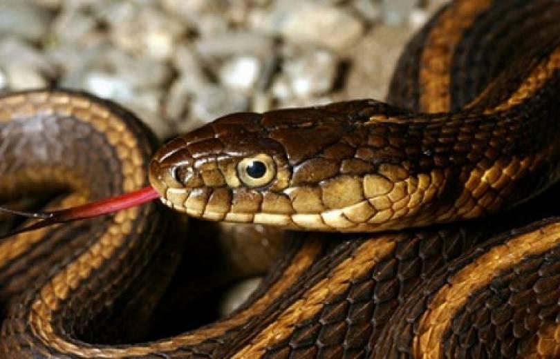 Փրկարարները բռնել են Կովկասյան իժ տեսակի օձ