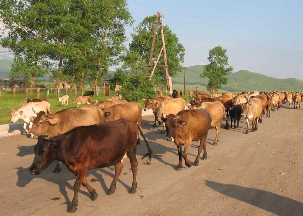 Массовые случаи заболевания скота ящуром в селах Дебет и Дсех - «Аравот»