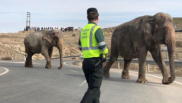 Իսպանիայում բեռնատարի վթարի հետևանքով փիղ է սատկել
