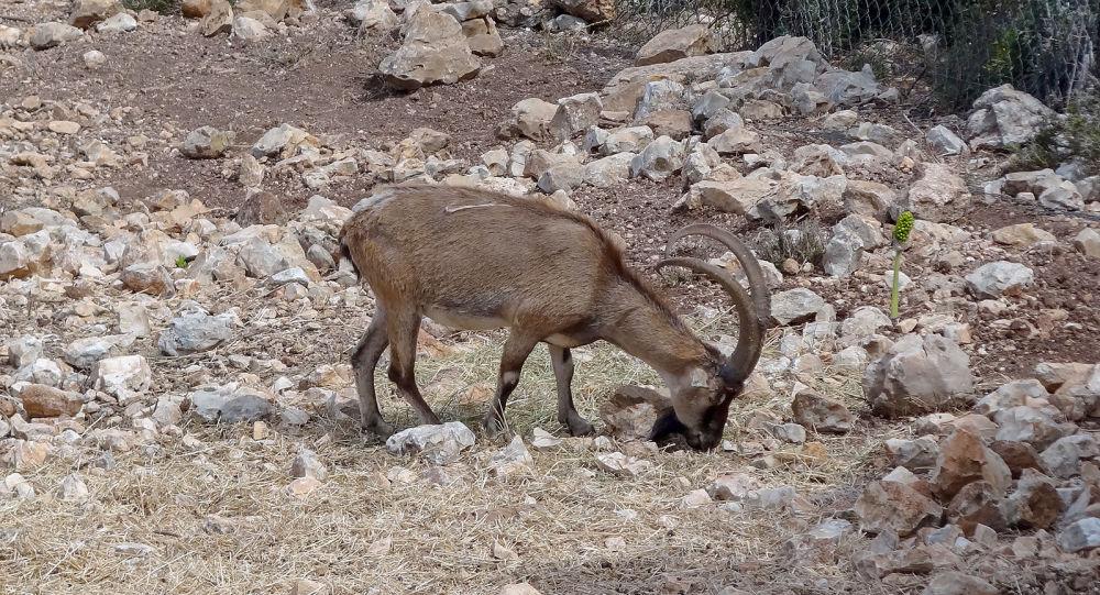 Որսացել են ՀՀ կարմիր գրքում գրանցված այծ