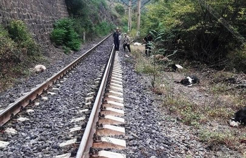 «Հաղպատ» կայարանի մոտ բեռնատար գնացքի հարվածից 31 այծ է սատկել