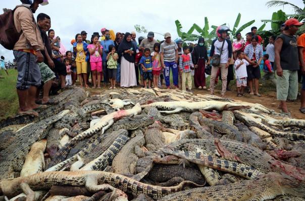 Ինդոնեզիայում մի խումբ տղամարդիկ սպանել են շուրջ 300 կոկորդիլոսի՝ վրեժ լուծելով մահացած ընկերոջ համար