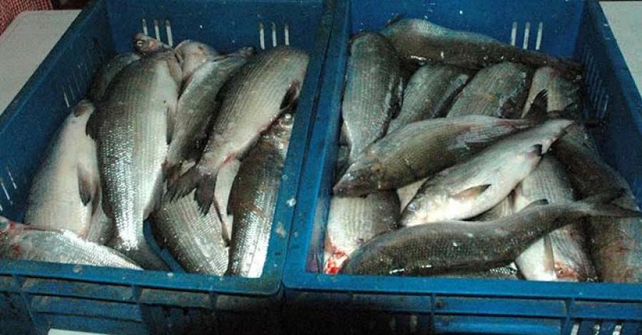 Արփա գետից էլեկտրահարման միջոցով ձուկ են որսացել