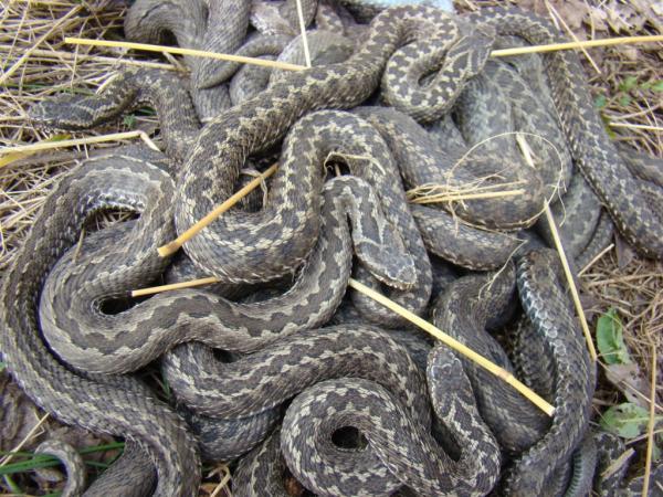 Երևանում օձեր են հայտնաբերվել