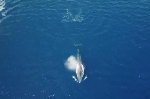 Կարմիր ծովում առաջին անգամ կապույտ կետ է նկատվել (տեսանյութ)