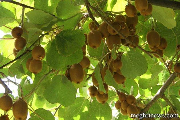 Նուռ, բանան, կիվի, դափնի, ձիթապտուղ․․․ Այս ամենը Մեղրիում է աճում․ (լուսանկարներ)