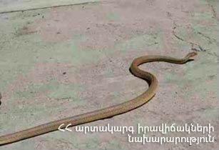 Ռուբինյանց փողոցում հայտնաբերվել է շահմար տեսակի օձ