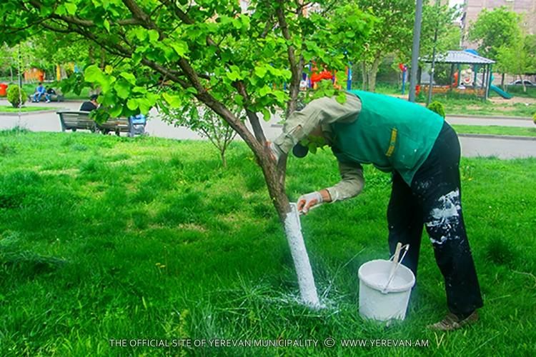 Մայրաքաղաքում շարունակվում են ծառերի բների կրապատման աշխատանքները