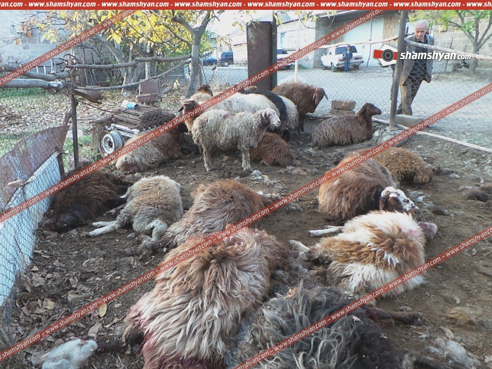 Գայլերը հոշոտել են 24 հղի ոչխար՝ ոսկեվազցի ընտանիքի ողջ ունեցվածքը