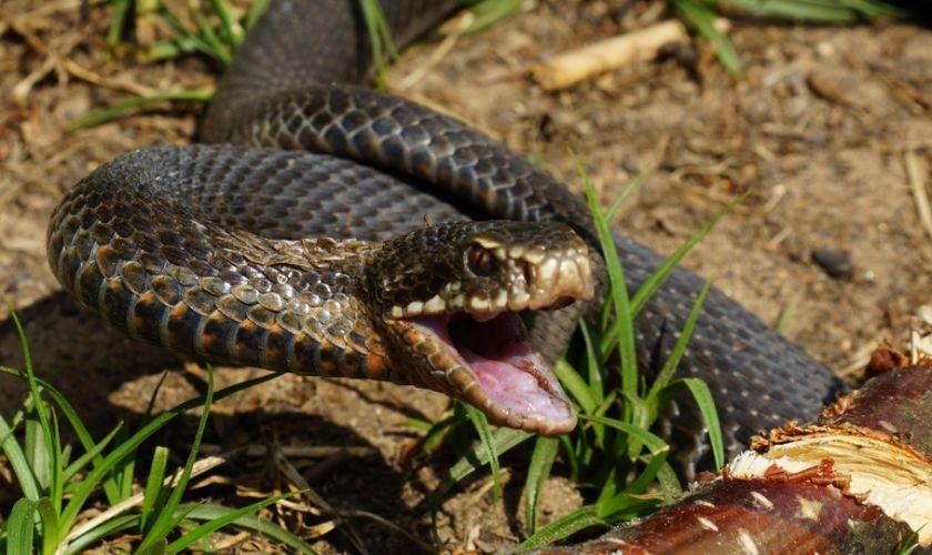 Վարդանանց փողոցում հայտնաբերվել է սահնօձ տեսակի օձ