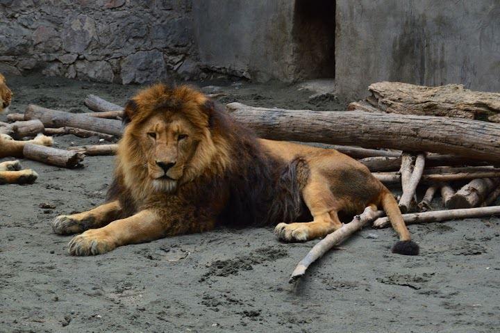 Իր խնամողին կծողը Զևս անունով առյուծն է, որը կենդանաբանական այգում է արդեն 7 տարի