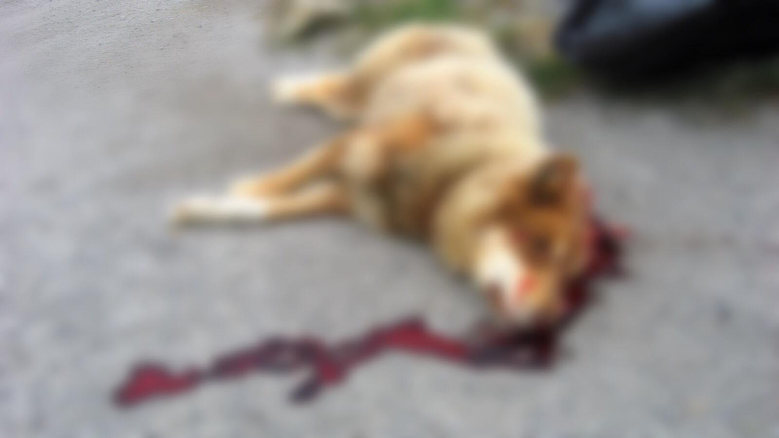 Աբովյանում հարբած մարդու խրախճանքը 5 շան կյանք է արժեցել
