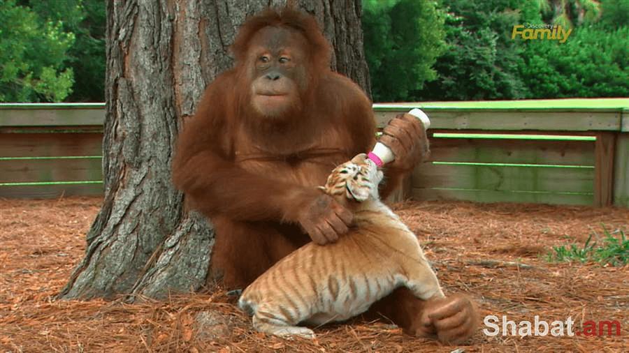 Կապիկը խնամում և «դաստիարակում» է վագրիկներին (տեսանյութ)