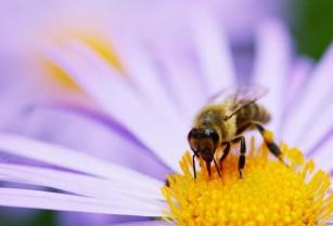 Ֆրանսիայի խորհրդարանն արգելել է սպանել մեղուներին