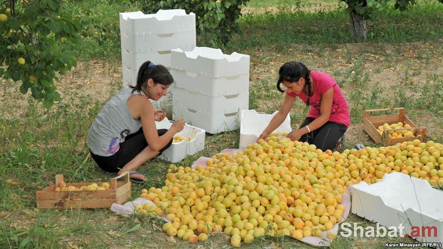 2020 թվականից Հայաստանի գյուղատնտեսությունը այլևս հարկերից ազատված ոլորտ չի լինելու. «Հայկական ժամանակ»