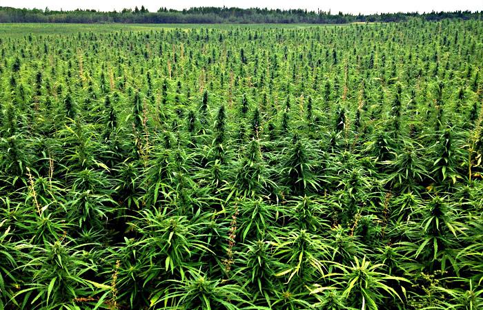 Վաղարշապատի ոստիկանները Էջմիածնի բնակիչներից մեկի բակում կանեփի բույսեր են հայտնաբերել