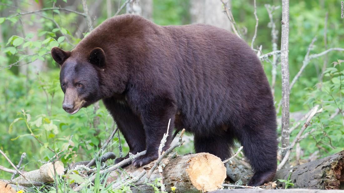 ее, медведи в америке картинки особенность