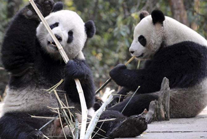 Բեռլինի կենդանաբանական այգում պանդաներին տապից փրկում են «սառցե ռումբիկներով»