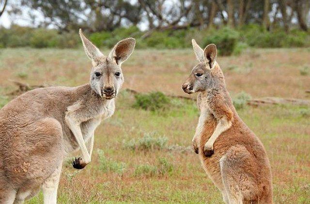 Ավստրալիայի նահանգում տապի պատճառով թույլ են տվել սպանել անասունների գուռից ջուր խմող կենգուրուներին
