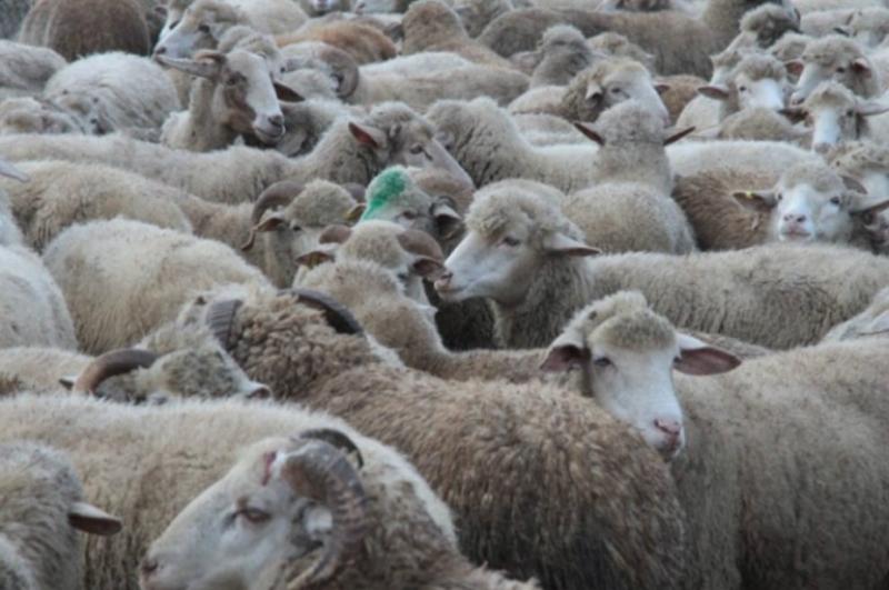 Ֆրանսիայում դպրոցը 15 ոչխարի որպես աշակերտ է գրանցել՝ դասարանների կրճատումից խուսափելու համար