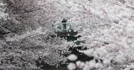 Ծաղկած սակուրաներն իսկական հեքիաթ են ստեղծել ճապոնական զբոսայգում (տեսանյութ)