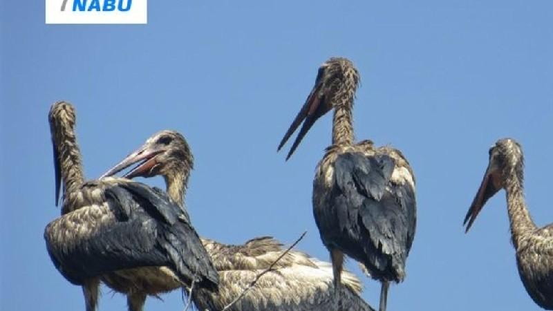 Մեծ էկոլոգիական աղետ Հայաստանում․ արագիլների 60 %-ը աղտոտված են