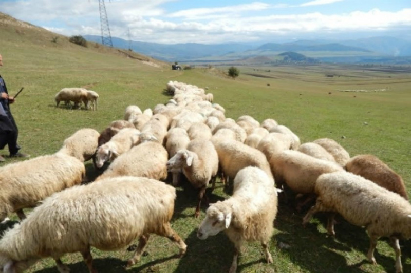 Ոստիկանները բացահայտել են տասնյակ անասունների գողության դեպքերը. հորթեր, ոչխարներ, ցլիկներ, խոզեր