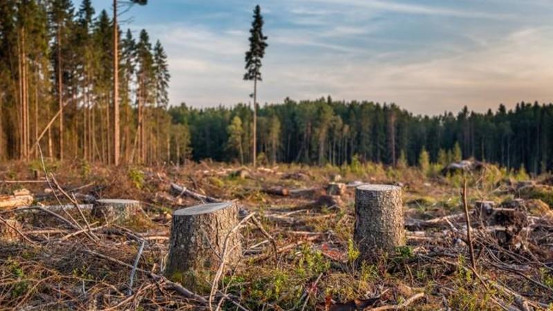 Թորոս գյուղի անտառային գոտում հատվել է 268 սոճի. հարուցվել է քրեական գործ. «Առավոտ»