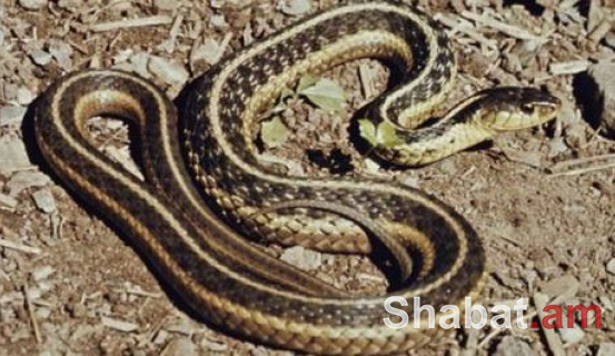 Երևանում հայտնաբերվել է օձ