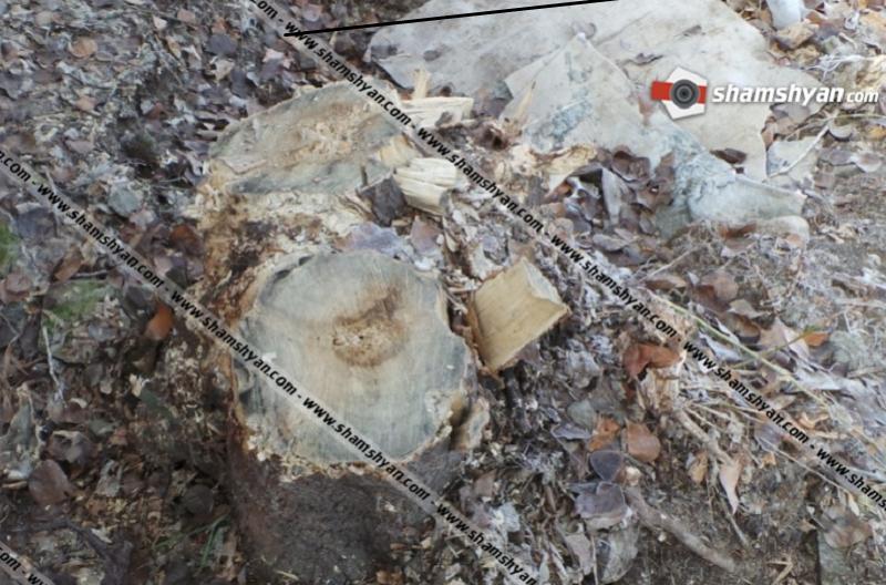 Երևանում և Արմավիրում ծառեր են հատվել. shamshyan.com