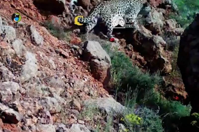 Տեսախցիկը դարձյալ ֆիքսել է հայաստանյան լեռներում զբոսնող կովկասյան հովազին (տեսանյութ)