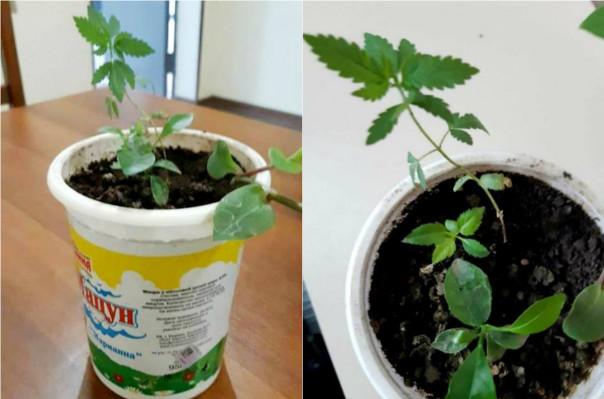 «Արմավիր» ՔԿՀ-ում չնախատեսված խուզարկության ընթացքում կանեփանման բույսեր են հայտնաբերվել