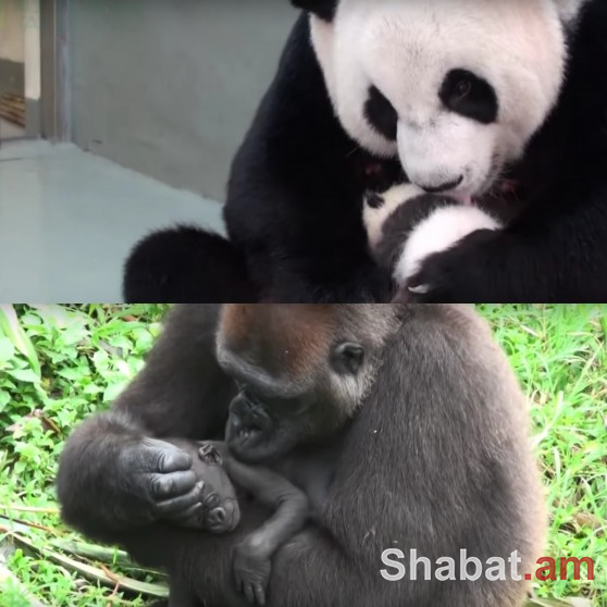 Ինչպե՞ս են մայրերը դիմավորում իրենց զավականերին (տեսանյութ)