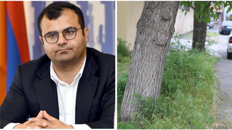 Ինչու՞ չեն կրապատում քաղաքի դեկորատիվ ծառերը. Հակոբ Կարապետյանի պարզաբանումը