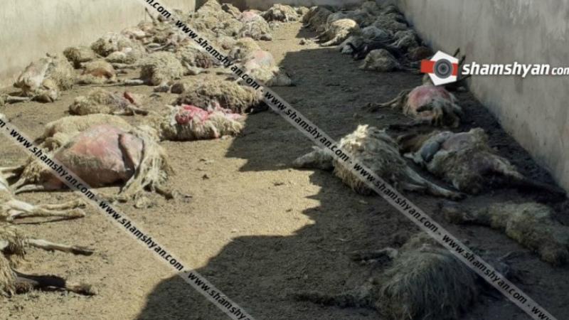 Գեղարքունիքում գայլերը հոշոտել են 122 ոչխար, 30-ից ավելիին էլ վնասել են