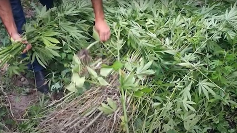 Հայտնաբերվել է 626 հատ կանեփի բույս․ Ախուրյանի ոստիկանների բացահայտումը (տեսանյութ)